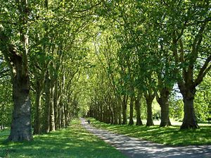 Avenue of trees in St George's Park - geograph.org.uk.jpg
