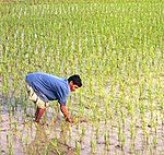 Man working in a rice field.